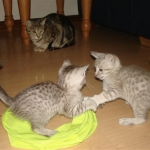 thumbs_k-azi-kittens-nov-2010-05